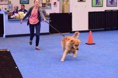 To Pull, or Not to Pull - Can I stop my dog pulling on the leash? Sports Dog, Dog Training, I Can, Dogs, Animals, Animales, Animaux, Dog Training School, Pet Dogs
