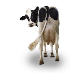 Thanks alot cows nice pin Cow Photos, Cow Pictures, Stock Pictures, Funny Photos, Farm Animals, Animals And Pets, Funny Animals, Cute Animals, Holstein Cows