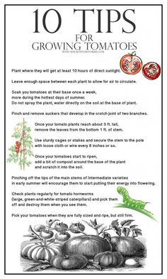 10 Tips for Growing Tomatoes - A Healthy Life For Me