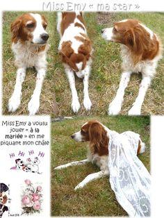 Photo LubyEmy38 http://mes101luby.eklablog.com/emy-ma-chienne-epagneul-breton-c21330862