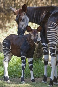 Young Okapi spend the first couple of days after birth following their mother and exploring. They then make a nest in a good hiding place. They will spend almost the entirety of the next 2 months there! If a predator is nearby, the young will remain motionless in the nest while the mother defends it.