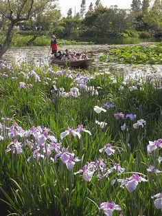 Japanese iris park at Sawara, Japan.  Photo: Kimnovax via Flickr