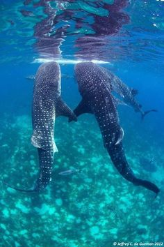 Whale Shark Gathering photo by Jeffrey de Guzman, Ocean Magazine Beautiful Sea Creatures, Animals Beautiful, Cute Animals, Animals Sea, Beautiful Things, Underwater Creatures, Ocean Creatures, Underwater Life, Orcas