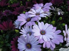 osteospermum.. I love these flowers... they are considered and annual here but I love when the sun shines on the center it almost looks like it is glowing :)