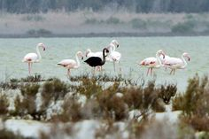 A black flamingo is seen in a salt lake at the Akrotiri Environmental Centre on the southern coast of Cyprus.