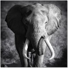 This Elephant Bull Animal Canvas Wall Art giclee print is created using fade resistant inks and gallery-wrapped giving it a museum quality finish. Elephant Love, Elephant Art, African Elephant, Elephant Poster, White Elephant, Elephant Photography, Wildlife Photography, Animal Photography, Elephant Tattoos