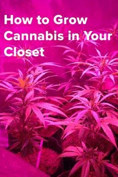 How to Grow Cannabis in Your Closet Growing Weed, Growing Plants, Weed Facts, Cannabis Seeds For Sale, Cannabis Cultivation, Seeds Online, Marijuana Plants, Health And Fitness, Fibromyalgia