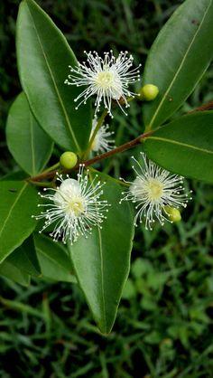 flores de arrayan