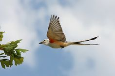 Scissor-tailed Flycatcher | A Scissor-tailed Flycatcher at B… | Flickr