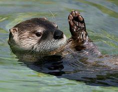 "Otter waving ""hello"""
