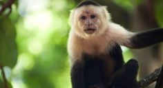 Wild bearded capuchin monkeys are more skilled than anyone in cracking nuts, shows a new study by Indian-American psychologist Madhur Mangalam.  http://www.vishwagujarat.com/technology/capuchin-monkeys-know-best-how-to-crack-a-nut/
