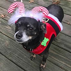 Available Pets At Akron Rescue Team In Akron Ohio Dachshund