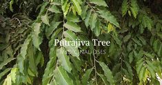 Putrajiva tree is especially used for treating female sterility. As the seeds of tree are especially used for treating female infertility this could be reason why this tree is called Putrajiva or Child life tree.