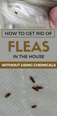 How to Get Rid of Fleas in the House Without Using Chemicals. Flea Treatment For Home Flea Spray For House, Flea In House, Home Remedies For Fleas, Natural Remedies For Fleas, Flea Remedy For Dogs, Dog Flea Remedies, Killing Fleas, Insecticide, Mosquitos
