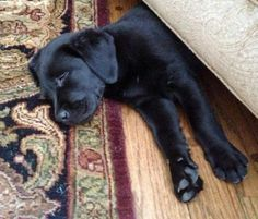 Perfect sleeping spot!  :D Sugar Bear the Labrador Retriever
