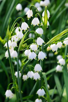 lily of the valley - one of my favourite flowers! Love the white bells with a slight green edge~ so special and cute! I never knew what it was called until now. We used to have some in our garden, then dad killed them with the lawn mower :'S