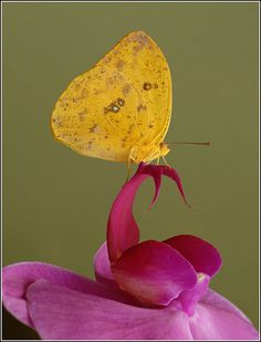 Yellow Butterfly on a Pink Orchid by Andrey Antov