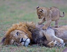 Lion dads are responsible for the protection and training of their cubs. Fatherhood often includes capturing prey that are too large for their offspring and protecting them from other lions. Come on Dad, you said you were gonna smouch them! Nature Animals, Animals And Pets, Wildlife Nature, Wild Animals, Beautiful Cats, Animals Beautiful, Big Cats, Cats And Kittens, Siamese Cats
