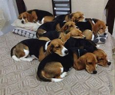Hope one day I can have lots of beagles. maybe 10 or more :-)