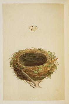 Nightingale Nest & Eggs Reverend Morris 1800s by PaperPopinjay