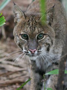 Alachua Bob  Big Cat Rescue Tampa FL