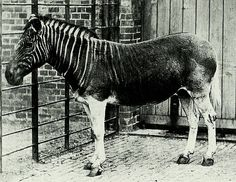 Only known photo of a living Quagga, a now extinct plains zebra sub-species, taken at London Zoo. 1870.