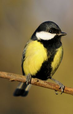 Parus major by Thor Hakonsen, via Flickr
