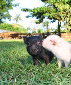 Oink, Oink, Mini Pigs! No thank you.Don't really care for carnitas ;)