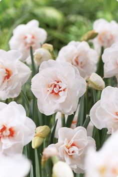 Daffodil, or narcissus, are perfect for early spring landscapes. We offer a variety of daffodils: double, trumpet, small cup and more. Daffodil Bulbs, Bulb Flowers, Daffodils, Spring Bulbs, Spring Blooms, Spring Flowers, Garden Bulbs, Garden Plants, Flower Farm