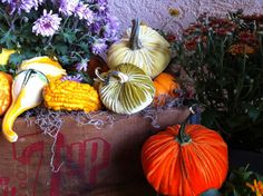 3 Silk Velvet Pumpkins with Real Dried Pumpkin Stems  by frenchtag, $67.00