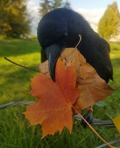 The crow that ate Enzo's feces Animals And Pets, Baby Animals, Funny Animals, Cute Animals, Beautiful Birds, Animals Beautiful, Beautiful Pictures, Potnia Theron, Raven Art