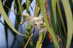 Lemon eucalyptus is an herb but it's hardly a typical one. Lemon eucalyptus information suggests that the herb can grow to 60 feet high an. Lemon Eucalyptus, Eucalyptus Tree, Water Plants, Garden Plants, Snake Plant Care, Tree Information, How To Grow Lemon, Spice Garden, Australian Garden