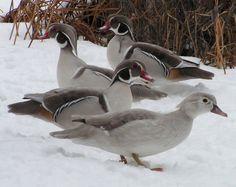 Silver Wood Ducks