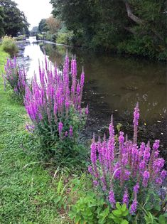 Purple loosestrife along the Bude Canal, Cornwall. One of our showiest wild flowers. #bees like it too