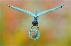 Amazing colours on a dragonfly!
