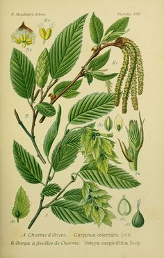 img / trees shrubs designs / drawings trees and shrubs 0085 Ostrya a charming leaves - Ostrya carpinifolia.jpg