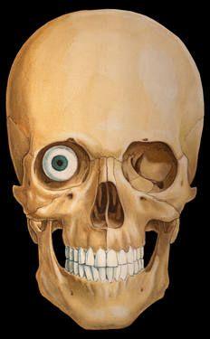 "Saatchi Art Artist Marc Gosselin; Drawing, ""Skull, Anterior view with eye"" #art"