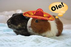 Bit of silliness - random search terms that have brought people to my blog. Guinea pig sombrero anyone?!