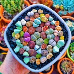 "🙏🏼 ・・・ Nature never ceases to amaze . 📸: Lithops plants are often called ""living stones."" These small, split succulents are native to deserts. Crassula Succulent, Succulent Seeds, Succulent Gardening, Cacti And Succulents, Planting Succulents, Planting Flowers, Paper Succulents, Succulent Containers, Container Flowers"