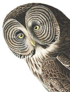 John James Audubon's Birds of America (printed between Audubon Prints, Audubon Birds, Bird People, Great Grey Owl, Owl Photos, Birds Of America, John James Audubon, Owl Art, Watercolor Bird