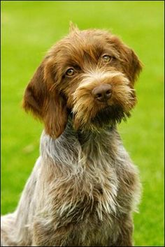 Wirehaired Pointing Griffon Pup ~ Classic Look Wirehaired Pointing Griffon, German Wirehaired Pointer, Cute Puppies, Cute Dogs, Dogs And Puppies, Doggies, Fox Terriers, Scottish Terrier, Cute Puppy Pictures