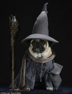 Lord of the Ruffs: The pet pug Blue as Gandalf with his staff and hat. Pugs In Costume, Dog Halloween Costumes, Pet Costumes, Pet Pug, Pug Puppies, Terrier Puppies, Boston Terrier, Pugs Dressed Up, Costume Chien