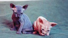 Weird feline couple - SpeakGif
