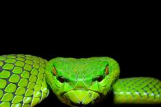 The Green Pit Viper is a venomous pit viper species that is endemic to Southeast Asia. Snake Wallpaper, Animal Wallpaper, Wallpaper Desktop, Gaboon Viper, Snake Photos, Pit Viper, Especie Animal, Snake Venom, Rare Animals