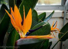Strelitzia (Bird Of Paradise Flower) @ Lewis Ginter Botanical Garden, Richmond, VA