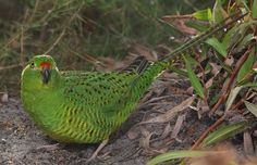 Western Ground Parrot (Pezoporus wallicus flaviventris) / Земляной попугай