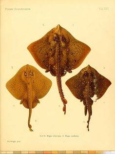 Skates. From A History of Scandinavian Fishes (1892-1895), courtesy of the Biodiversity Heritage Library