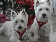 Christmas westies, they look identical to my Charlie and Sam!