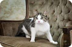 Detroit Lakes, MN - Domestic Shorthair. Meet Piper a Cat for Adoption.