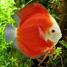 Discus Malboro White Face--Wow, would love to see one like this in real life. Most discus have patterns on the sides.